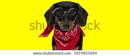 nerdy teckel dachshund dog wearing glasses and red bandana on yellow background