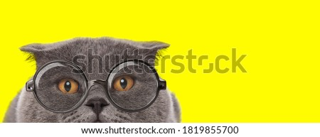 adorable scottish fold cat wearing glasses and hiding on yellow background