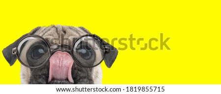 adorable pug puppy wearing glasses and licking nose, looking up and hiding on yellow background