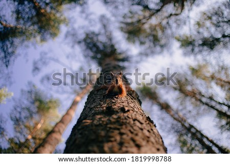 Cute curious squirrel climbing down the pine tree trunk and looking at the camera as if smiling slightly. View from below, selective focus with blurred branches in the background.