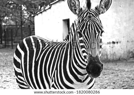 BLACK AND WHITE ZEBRA HD