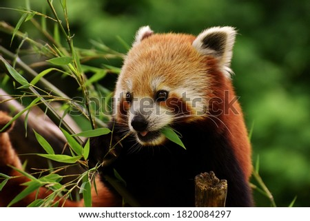 Beautiful picture of red panda in the forest