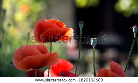Red poppy is a picturesque picture. The flower is odorless, delicate and fragile.