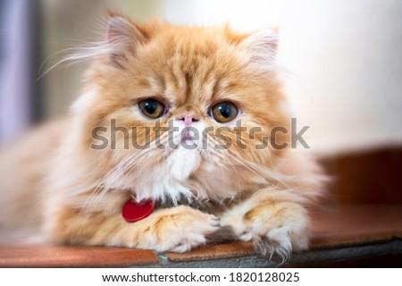 Exotic short hair cat posing Royalty-Free Stock Photo #1820128025