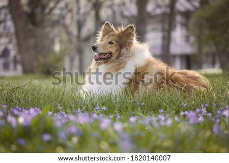 this is a very beautiful picture of  a long-coated dog breed Rough Collie.