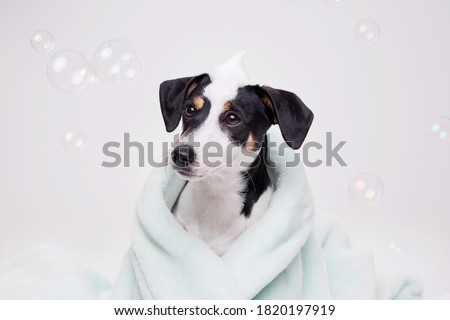 Funny wet puppy of Jack Russell Terrier after bath wrapped in towel with big eyes. Just washed cute dog with soap foam on his head on gray background. Royalty-Free Stock Photo #1820197919