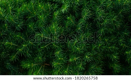 Macro shot of fresh green canadian conic spruce wallpaper floral nature background. Green leaf shrub spring summer texture. Screensaver, natural fonts. Dark background for wallpaper and backdrop