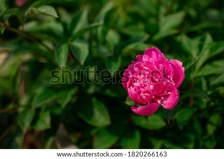 Bright colorful flower on dark green foliage nature background. Close up macro shot of pink peony bud. Beautiful summer spring natural fonts. Greeting card, screensaver concept