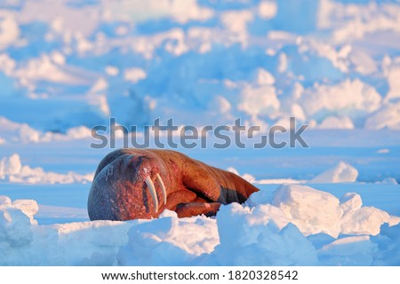 Arctic wildlife. Walrus, lying on the ice, stick out from blue water on white ice with snow, Svalbard, Norway. Winter landscape with big animal.