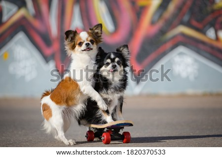 two funny little chihuahua pets dogs sitting on skateboard on graffiti urban background