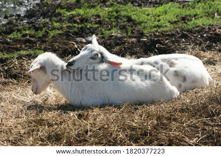 picture of two goats closer at the farm