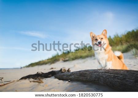 Happy welsh corgi pembroke dog at a beach Royalty-Free Stock Photo #1820530775