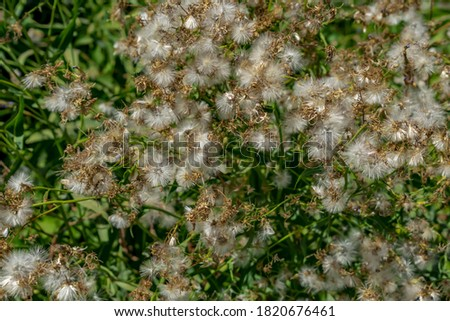 Natural texture of dry Lactuca tatarica dandelions on a background of green stems. Floral background of faded plant #1820676461