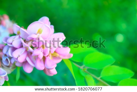 High-quality pink acacia. background - bokeh. stock photo