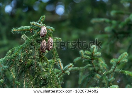 Fir branch, cones, coniferous forest. Blurred, bokeh, green background with copy space and place for text. Royalty-Free Stock Photo #1820734682