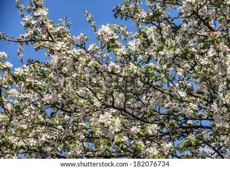 dismissed white flowers of a blossoming apple-tree  #182076734