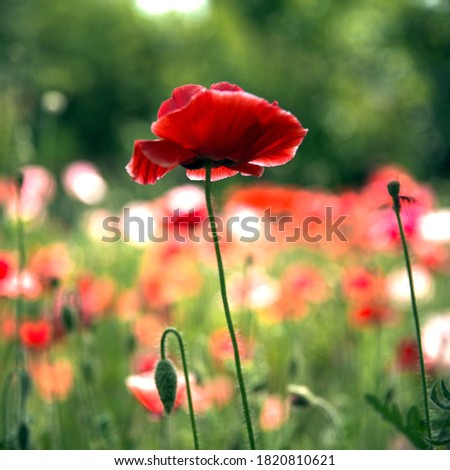 A variegated poppy lawn. Large red poppy in the foreground. Image for the screensaver.Red poppy is a picturesque picture.