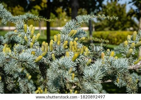 "Cedrus Atlantica Glauca is a tree also known as Blue Atlas Cedar or Cedrus libani atlantica. Cones on branches with needle-like leaves. Blurred background. City Park ""Krasnodar"" or Galitsky Park. Royalty-Free Stock Photo #1820892497"