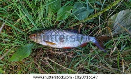Roach fish are found in rivers and lakes