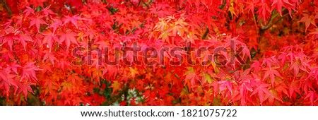 Red acer palmatum ( palmate  smooth Japanese maple ) leaves.  Red-foliaged Japanese maple, closeup. Good Red Fall Foliage, banner #1821075722