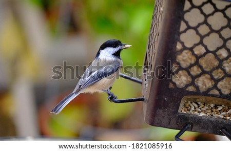 Close up of chickadee at bird feeder with bokeh background #1821085916