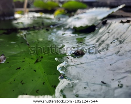 close up green lotus leaf. Royalty high-quality stock photo image of detail green leaf and snail. macro leaf background for design. wallpaper