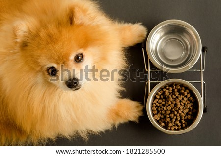 dog is eating dry food and water in bowl, looks at the camera, waiting for the command. animal and diet. pet care and feeding. Pomeranian spitz does not want to eat. soft focus Royalty-Free Stock Photo #1821285500