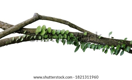 Tropical rainforest Dragon scale fern (Pyrrosia piloselloides)  epiphytic creeping plant with round fleshy green leaves growing on jungle liana vine plant isolated on white with clipping path. #1821311960