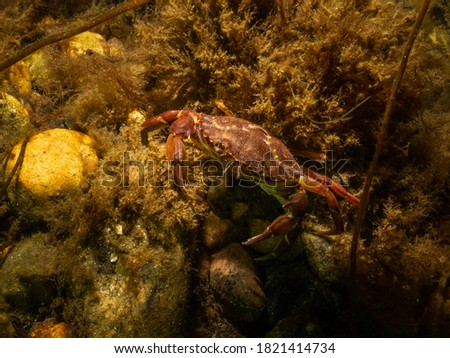 A closeup picture of a crab in a beautiful marine environment. Picture from Oresund, Malmo in southern Sweden.