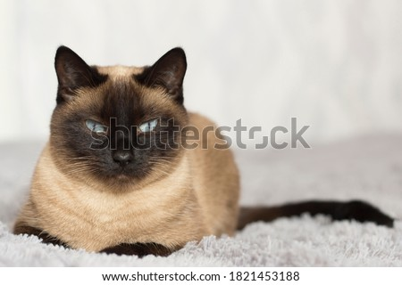 portrait of a pet, Thai cat with blue eyes lying on the sofa, Thai cat color  seal point Royalty-Free Stock Photo #1821453188