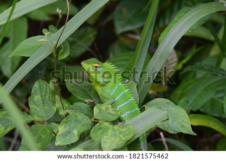 closeup view of green lizard - green lizard sunbathing on branch, green lizard climb on wood, Jubata lizard - Anolis carolinensis - hidden green lizards #1821575462