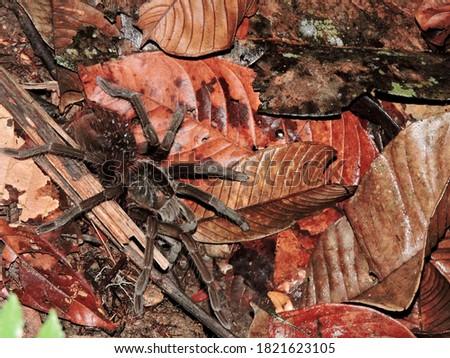 A huge tarantula in the rainforest