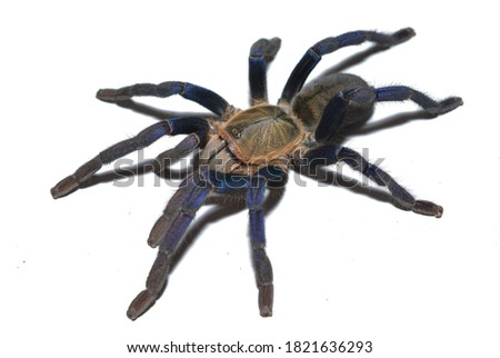 Closeup picture of mature female of cobalt blue tarantula Haplopelma (Cyriopagopus) lividum [Araneae: Theraphosidae: Ornithoctoninae] from Thailand, photographed on white background