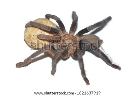 Closeup picture of mature female of cobalt blue tarantula Haplopelma (Cyriopagopus) lividum [Araneae: Theraphosidae: Ornithoctoninae] with egg sac from Thailand, photographed on white background