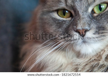 muzzle of gray striped fluffy cat. Siberian kitten with green eyes. Cute picture of animal. Image for veterinary clinics, sites about cats, for cat food.