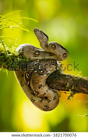 The boa constrictor (Boa constrictor), also called the red-tailed boa or the common boa, is a species of large, non-venomous, heavy-bodied snake that is frequently kept and bred in captivity #1821700076