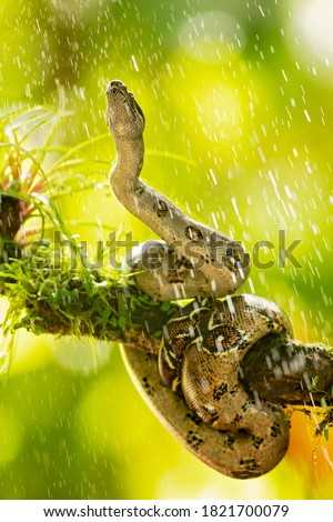 The boa constrictor (Boa constrictor), also called the red-tailed boa or the common boa, is a species of large, non-venomous, heavy-bodied snake that is frequently kept and bred in captivity #1821700079