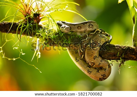 The boa constrictor (Boa constrictor), also called the red-tailed boa or the common boa, is a species of large, non-venomous, heavy-bodied snake that is frequently kept and bred in captivity Royalty-Free Stock Photo #1821700082