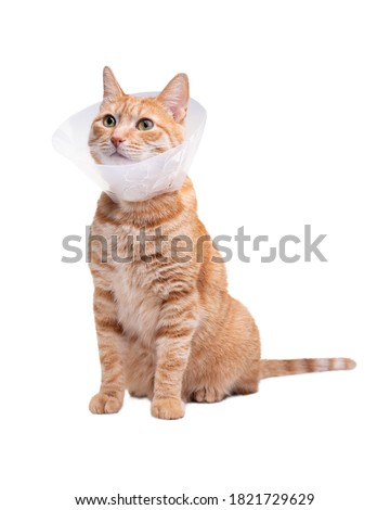 The cat wears a cone collar to protect and prevent licking the wound after sterilization. Neutering the male cat. Sick cat concept. White background. Royalty-Free Stock Photo #1821729629