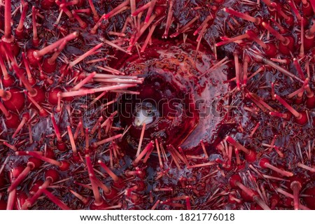 Canada, British Columbia. Close-up of an echinoderm Red Sea Urchin (Mesocentrotus franciscanus) showing mouth and teeth, and spiny tube feet. Royalty-Free Stock Photo #1821776018