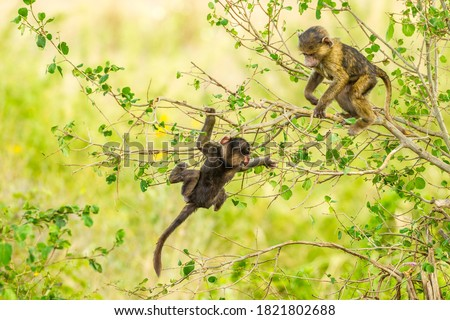 Africa, Tanzania, Serengeti National Park. Olive baboon babies playing in tree.