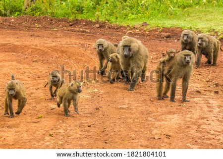 Africa, Tanzania, Ngorongoro Crater. Olive baboons on dirt road.