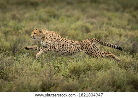 Tanzania, Ngorongoro Conservation Area, Adult Cheetah (Acinonyx jubatas) begins running while chasing down Wildebeest calf on Ndutu Plains #1821804947