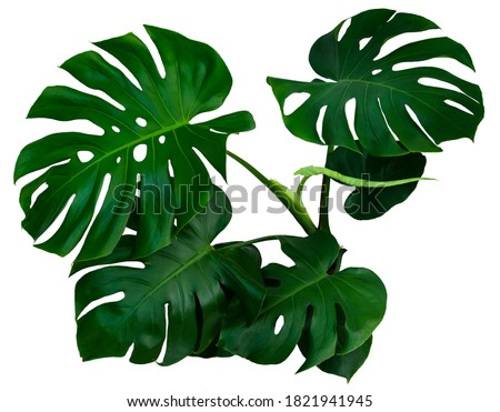 Dark green leaves of monstera or split-leaf philodendron (Monstera deliciosa)tropical foliage isolated on white background, clipping path included. Royalty-Free Stock Photo #1821941945