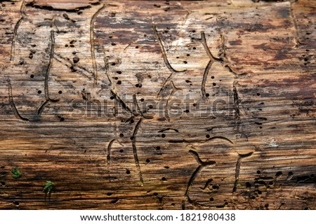 Wood texture with traces of bark beetle. Termite-eaten tree, Insect holes in the tree trunk, close-up. Dry wood texture with holes from pests. the tree was eaten by the bark beetle. Space for text #1821980438