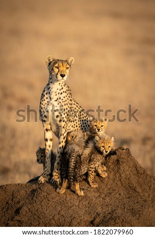 Vertical portrait of a female cheetah and her four small baby cheetahs sitting on a big termite mound in Serengeti in Tanzania