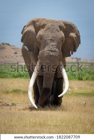 Vertical portrait of a large male elephant with huge white tusks walking towards camera with blue sky in the background in Kruger Park in South Africa Royalty-Free Stock Photo #1822087709