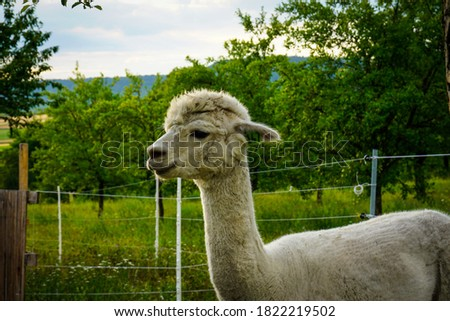 Picture of a beautiful white alpaca standing on a green field of a alpaca farm near Ammerbuch, Germany