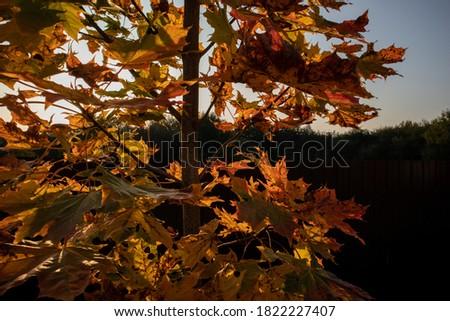 Photo Autumn yellowed leaves on a tree. Autumn season #1822227407