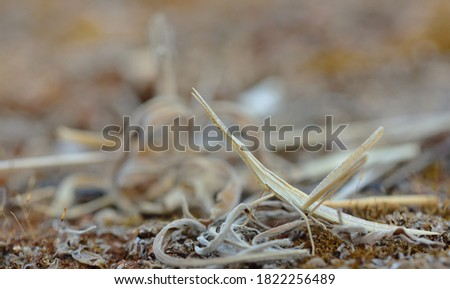 a very well camouflaged brown grasshopper that looks like arid grass stands on arid ground in Sicily